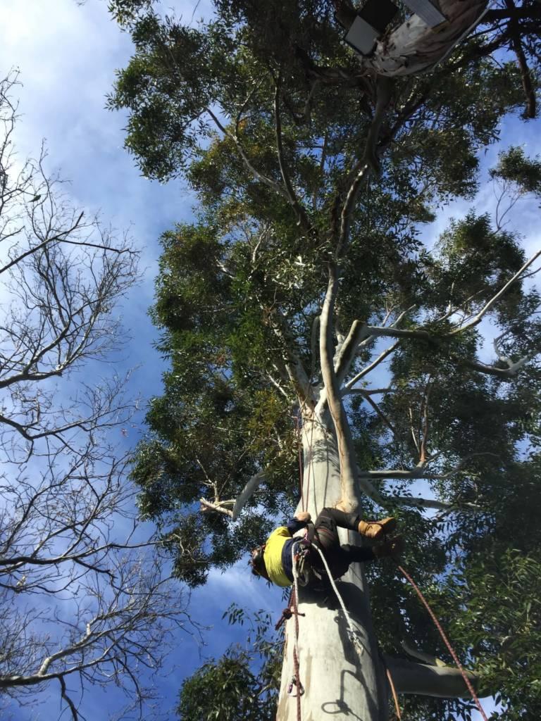 Ace's Tree & Garden Service - Tree Cutter Rappelling